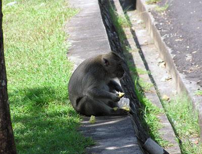 ウルワツの猿