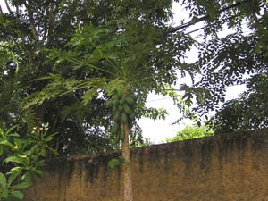 papaiyanoki