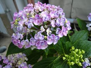 赤木さんちの紫陽花
