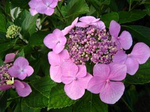 井田さんちの紫陽花