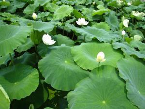 蓮根の花1