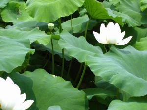 蓮根の花2