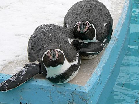 080126 動物園/フンボルトペンギン