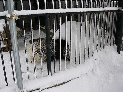 080126 動物園/アフリカタテガミヤマアラシ