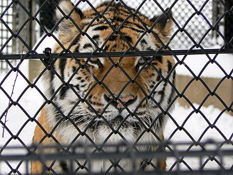 080126 動物園/アムールトラ