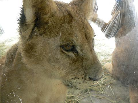 080126 動物園/ライオン仔1
