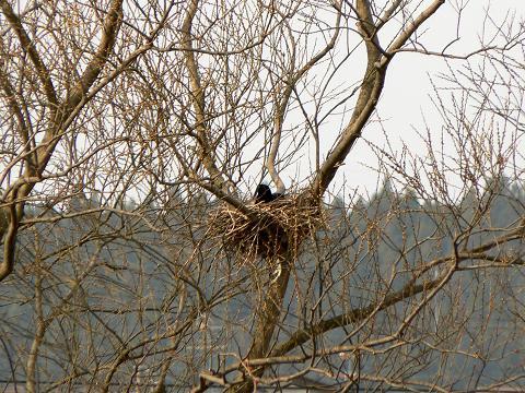 080405 カラスの巣