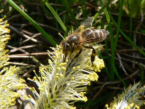 080413 ミツバチ