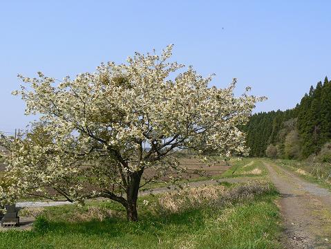 080429 黄色い桜1