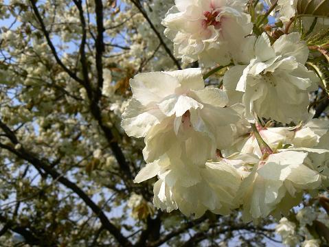 080429 黄色い桜2