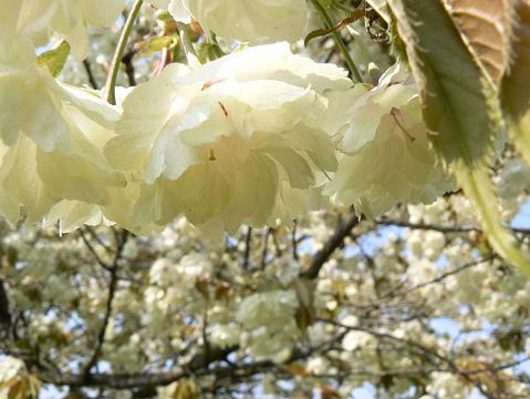 080429 黄色い桜3