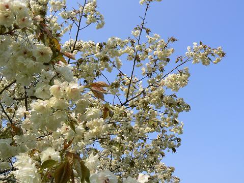 080429 黄色い桜4