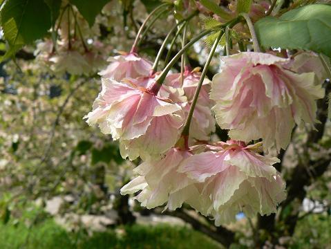 080504 黄色い桜の末期
