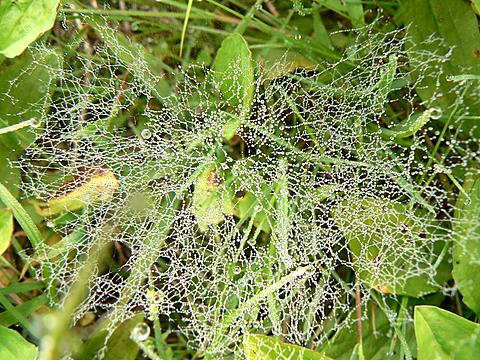 080524 クサグモの巣