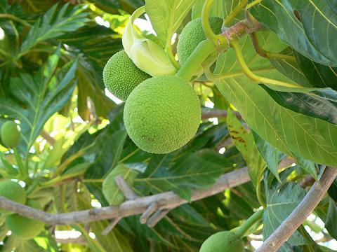 '08ハワイ 0626マリタイムセンター:Breadfruit(パンの実)