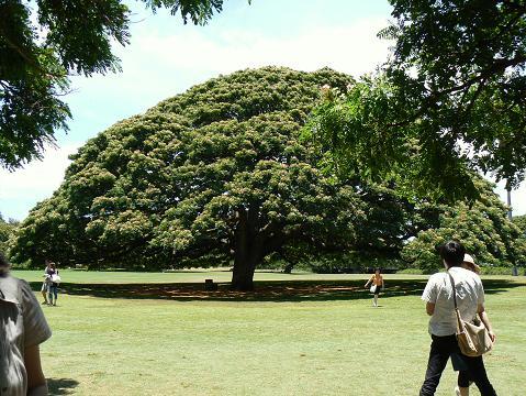 '08ハワイ 0626モアナルアガーデン:この木なんの木