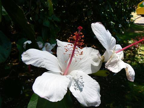 '08ハワイ 0626モアナルアガーデン:Oahu white hibiscus(白ハイビスカス)