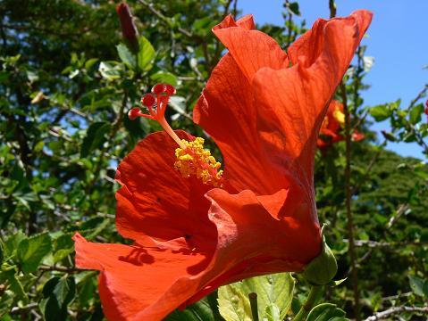 '08ハワイ 0626モアナルアガーデン:赤いハイビスカス