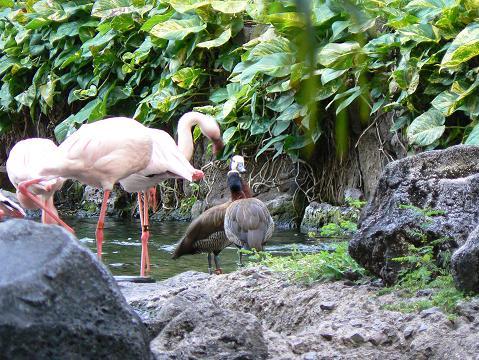 '08ハワイ 0626ヒルトン:フラミンゴとカモ