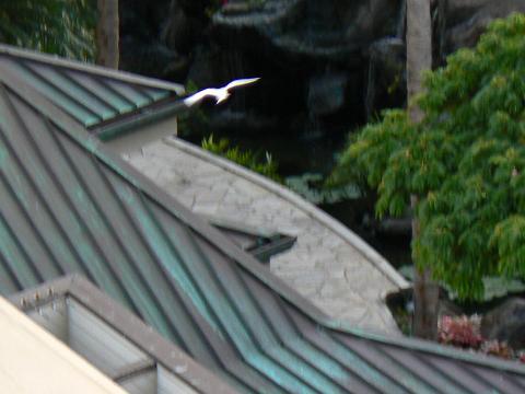 '08ハワイ WHITE TERN (シロアジサシ)