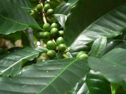 '08ハワイ 0627マノア滝ツアー:コーヒー