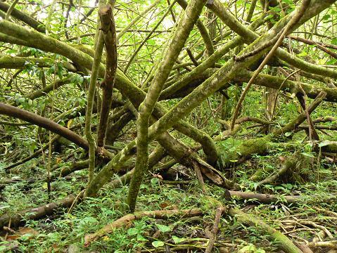'08ハワイ 0627マノア滝ツアー:ハウの木?