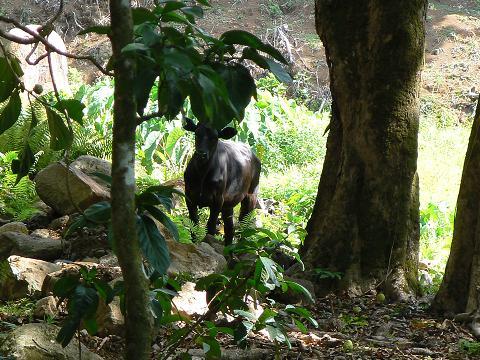 '08ハワイ 0628クアロア牧場:ジャングルジープツアー2