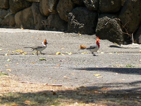 '08ハワイ 0628クアロア牧場:RED-CRESTED CARDINAL(紅冠鳥)1
