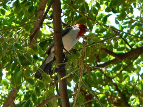 '08ハワイ 0628クアロア牧場:RED-CRESTED CARDINAL(紅冠鳥)2