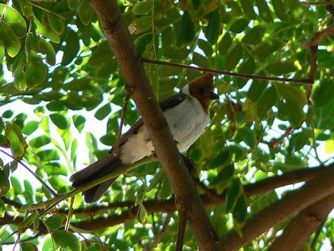 '08ハワイ 0628クアロア牧場:RED-CRESTED CARDINAL(紅冠鳥)3