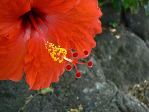 '08ハワイ 0628クアロア牧場:花4