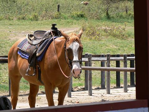 '08ハワイ 0628クアロア牧場:乗馬4