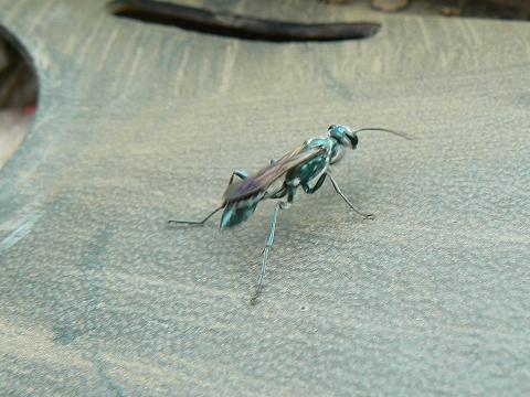 '08ハワイ 0628クアロア牧場:ハチの仲間