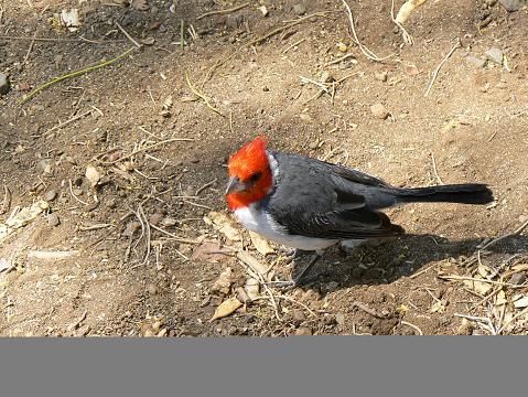 '08ハワイ 0629ダイヤモンドヘッド:RED-CRESTED CARDINAL(紅冠鳥)2