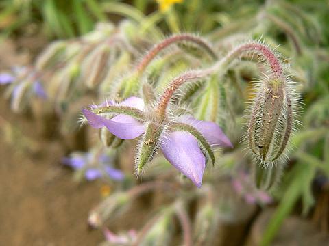 080712 庭の花・ボリジ4
