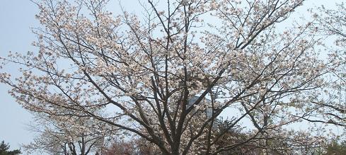 北海道の桜 5月10日