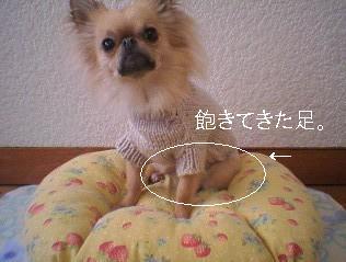 犬用ニット着用6