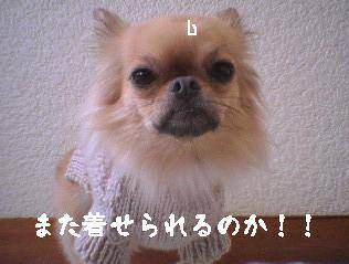 犬用ニット着用8