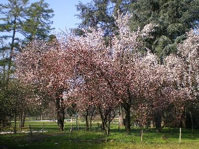 ミラノの桜
