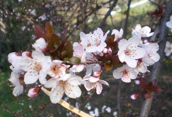 ミラノの桜2