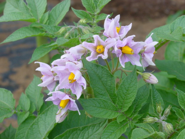 ベニアカリの花