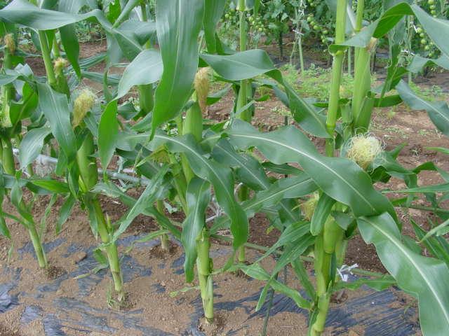 収穫間近のトウモロコシ