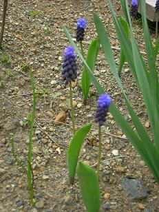 2色咲きムスカリ