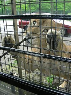 カメラ目線の雌ライオン