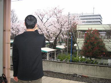 yosakura.jpg