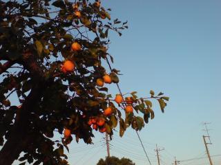 20110928早生の柿はもう赤らんで