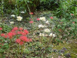 20111002東慶寺境内の彼岸花