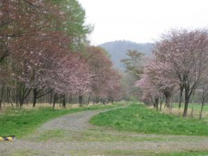 静内町の桜並木