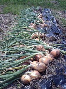 20080517タマネギ収穫2