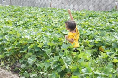 2011芋掘り4